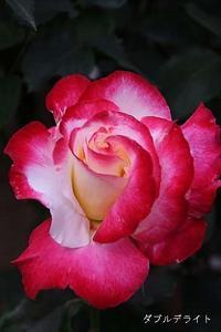 新宿御苑のバラと、ホウノキとベニバナオガタマ - 子猫の迷い道Ⅱ