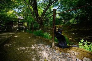 町角ニャンコ・常寂光寺のクロベイ - デジタルな鍛冶屋の写真歩記