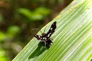 褐色に白とオレンジのドットの蛾、体はストライプ(調べ中) - 世話要らずの庭