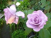我が家の狭い庭にいまさている花 - 風の便り