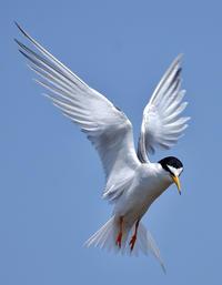 コアジサシ - Bird Focus2