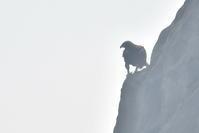 イヌワシ 飛翔連写 - expeedのbirdisland あの日あの時あの場所で・・・volⅡ