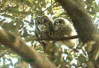 ふくろうの雛の朝食 - barbersanの野鳥観察