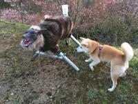 《GWのおまけ》ウルフくんと夕陽桜 - 柴犬さくら、北国に生きる
