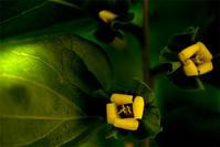柿の花 - usaco photo