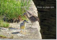 夏季に北海道に飛来(夏鳥)するか、本州以南に周年生息(留鳥)、冬季に南下する個体もいる - THE LIFE OF BIRDS --- 野鳥つれづれ記