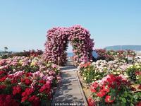 瀬戸内海と薔薇@サンポート高松の薔薇園 - アリスのトリップ