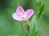 お散歩で出会った5月の可愛い野の花~♫ - アリスのトリップ