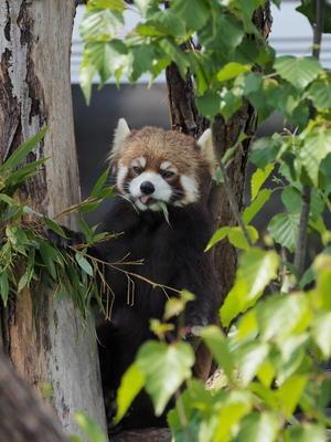 5月の円山、食欲旺盛ホクト - レッサーパンダとKOOL