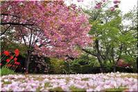 八重の桜(平岡樹芸センター) - 北海道photo一撮り旅