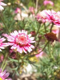ピンクの花❀ -  小さじいっぱいのたいよう