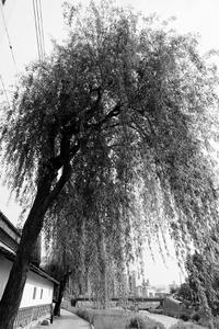 柳の下に幽霊 - 写心食堂