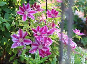 「あおい」の鉢苗が届いた - my small garden~sugar plum~