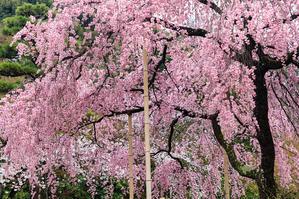京都の桜2017 桜咲き乱れる法金剛院 - 花景色-K.W.C. PhotoBlog
