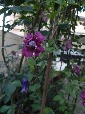 クレマチスが咲き始めています。 - ハッピーマニア