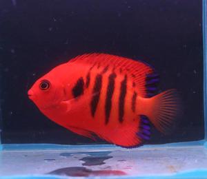 ハワイ便他 - ビーボックスアクアリウム 海水魚・サンゴ情報