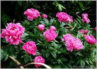 シャクヤク 大輪の花 - 野鳥の素顔 <野鳥と・・・他、日々の出来事>