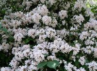 卯の花の匂う垣根に ・・・ - 大屋地爵士のJAZZYな生活