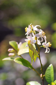 5/24 レモンの花 - 「あなたに似た花。」