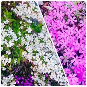 【雑記】雪柳と芝桜が満開に 【中】例文 【英5トレ言葉】練習… - 【まんが&フォト】 ほかの国のコトバ ― 8言語つまみぐい