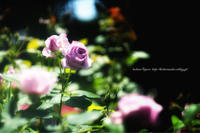 薔薇の季節 - koharu*biyori