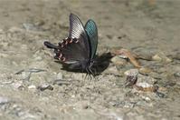 ●● えっ このチョウも・・・・・・・吸水に来たチョウいろいろ ●● - kameのフォトブック2