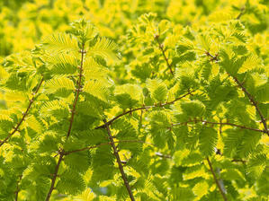 メタセコイアの花から実 - 自然観察大学ブログ