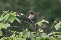 ノビタキ - 今日の鳥さんⅡ