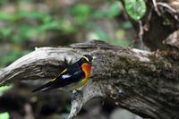 キビタキ - 比企丘陵の自然