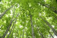 生命萌え出すブナ林 ~美人林~  - 風の彩り-2