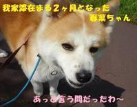 春菜ちゃん、お預かり2ヶ月経過しました♪ - もももの部屋(家族を待っている保護犬たちと我家の愛犬のブログです)