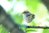 モズの子育て5 静かに待つ雛 - 気まぐれ野鳥写真