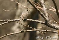 初めての場所での出会い「コサメビタキ」さん~Σ^) - ケンケン&ミントの鳥撮りLifeⅡ