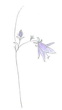 五月の青い花 - マリカの野草画帖