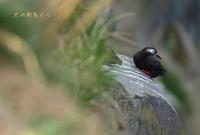 ケイマフリ - 北の野鳥たち