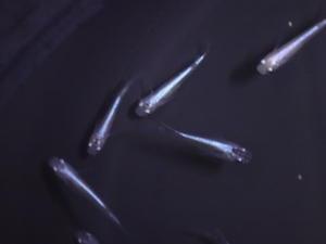 170525熱帯魚・金魚・メダカ・水草 - ペットメイト西宮店の生体ブログ