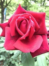 """バラの香りに誘われて""""ばらまつり""""へ - ドイツ語のある暮らし"""