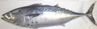 養殖魚のスマのブランド魚「伊予の媛貴海(ひめたかみ)」 - 注目の記事