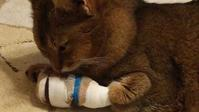 靴下を履いた猫…その後のアッチュ - ごまめ家族日記