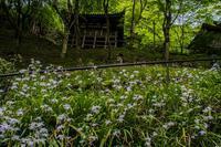愛宕念仏寺の新緑とシャガの花 - 鏡花水月
