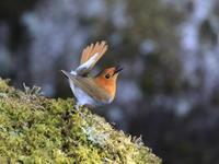 まだまだ続くコマドリ - 『彩の国ピンボケ野鳥写真館』