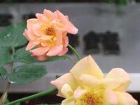 アンネのバラ - 子ども空手×杉並 六石門 らいらいブログ