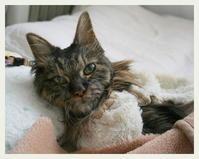 ご長寿猫 はんぞう との暮らし 「4月21日~4月25日の はんぞう」 - たびねこ