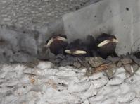 ツバメのヒナ・・可愛いお口が並んでた - 西多摩探鳥散歩