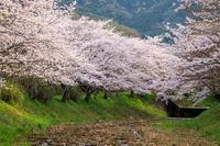 京都の桜2017 井手玉川の桜並木 - 花景色-K.W.C. PhotoBlog