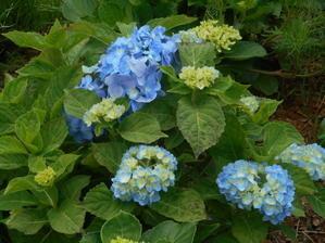 今年は紫陽花がきれいに咲くね。 - 沖縄山城紅茶茶摘み日記