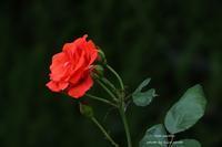 赤い薔薇  - 静かな時間