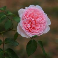 前橋で バラ・薔薇・ばら - 星の小父さまフォトつづり