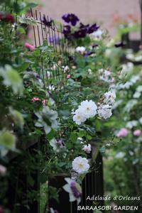 フェンスに絡ませて - バラと遊ぶ庭