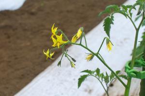 大玉トマトを植える - キシノウエンの 今日のてしごと